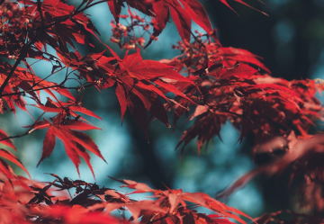 Leaves of acer tree